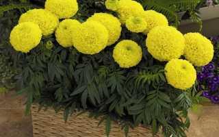 Балконные цветы для северной стороны. Какие цветы можно посадить на балконе для райского уголка