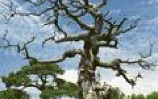 Дерево семейства тутовых.