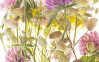 Кашка цветок фото.