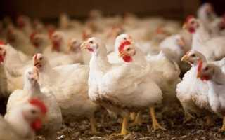 Вес цыплят по неделям. Справочные сведения по птицеводству