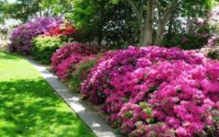 Азалия садовая выращивание и уход фото. Азалия садовая: выращивание и уход