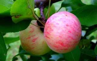 Грушевка яблоки фото. Яблоки Грушовка — фото данного сорта яблок, а также его подробное описание