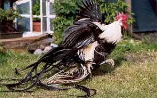 Йокогамская курица. Аристократы куриного рода — декоративная порода Феникс (Йокогамская)