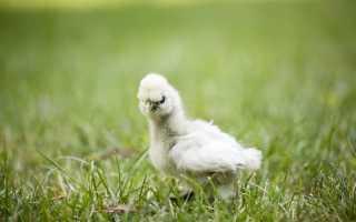 Вакцинация цыплят. Вакцинация цыплят и кур в домашних условиях — таблица
