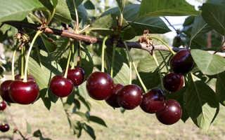 Вишня чернокорка описание фото отзывы. Привлекательная, вкусная и полезная вишня сорта Чернокорка