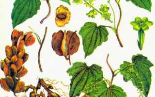 Диоскорея кавказская применение и противопоказания отзывы. Диоскорея кавказская, корень, 50 гр