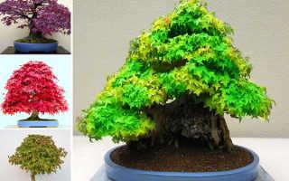 Клен бонсай как вырастить из семян. Выращиваем бонсай клен дома: на выбор синий, голубой или красный цвет деревца