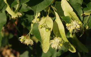 Как выглядят листья липы фото. Дерево липа: мелколистная (Tilia cordata) и другие виды