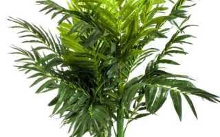 Как размножить пальму комнатную. Как ухаживать за комнатной пальмой в домашних условиях, способы размножения и разновидности