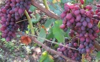 Виноград юпитер описание сорта фото. Подробное описание сорта винограда Юпитер