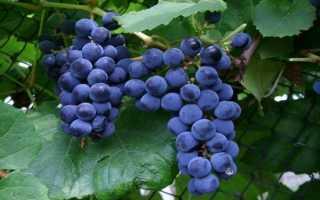 Виноград зилга описание сорта фото. Виноград «Зилга»: описание сорта, характеристика, отзывы