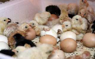 Инкубатор для яиц как пользоваться. Инкубаторы для куриных яиц как пользоваться в домашних условиях