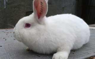 Как кормить кроликов для быстрого роста. Чем кормить кроликов чтобы они быстро набирали вес?