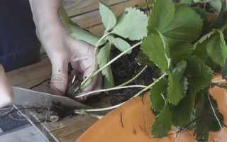 Как рассадить клубнику осенью делением куста. Алгоритм размножения клубники делением куста