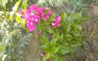 Бугенвиллия в крыму. Бугенвиллия в саду
