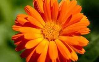 Календула на клумбе. Календула — «Солнечный врачеватель»: посадка и уход в открытом грунте