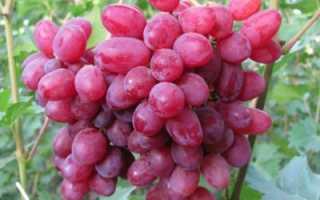 Верес виноград. Виноград велес