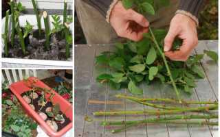 Как сажать чубуки роз. Размножение роз черенками осенью: подробная инструкция для начинающих