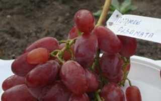 Виноград потомок ризамата описание фото. Описание сорта винограда Потомок Ризамата
