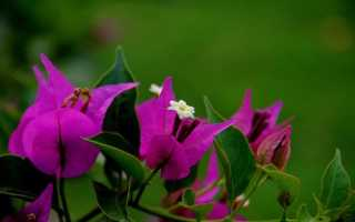 Бугенвиллия дон марио фото. Бугенвиллия или Бумажный цветок Bougainvillea Don Mario