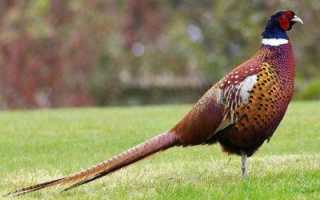 Как сделать манок на фазана своими руками. Манок на фазана своими руками чертежи