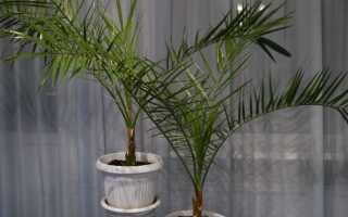 Как пересаживать пальму в домашних условиях. Как пересадить пальму в домашних условиях: пошаговая инструкция