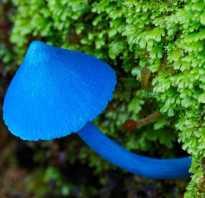 Голубой гриб описание. Гриб Млечник голубой