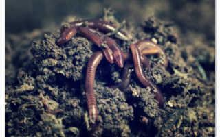Как размножаются земляные черви. Земляные черви