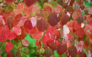 Багряник кустарник. Багряник японский посадка и уход в Подмосковье Размножение черенками и семенами