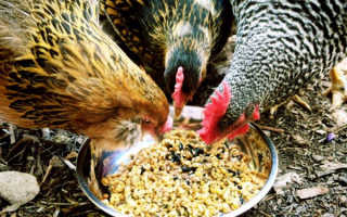 Как кормить кур горохом. Чем кормить куриц несушек в домашних условиях, чтобы неслись?