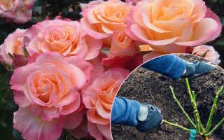 Когда лучше сажать розы. Когда сажать розы осенью, и как не погубить саженцы