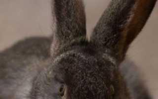 Как узнать когда гуляет крольчиха. Как определить период охоты у крольчих? Ответ!