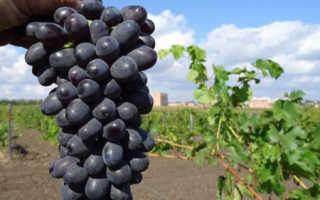 Виноград макси черный описание сорта. Виноград Макси черный: винный виноград для северных районов