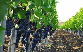 Виноградники краснодарского края фото. На Кубани посадили рекордные 2,1 тысячи гектаров виноградников в 2018 году