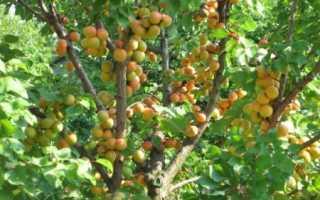 Как посадить абрикос в сибири. Как правильно выращивать и ухаживать за абрикосом в Сибири и описание морозостойких сортов