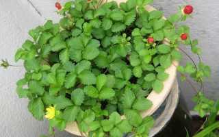 Дюшенея индийская выращивание из семян. Дюшенея: правила выращивания в условиях дома или сада