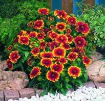 Гайлардия аризона. Гайлардия Аризона Сан: описание сорта, посадка и выращивание