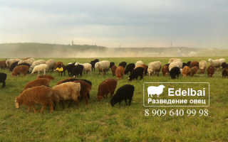 Где держат баранов. Все что стоит знать фермеру о разведении овец
