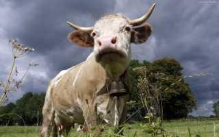 Глаз коровы. Особенности глаз коровы