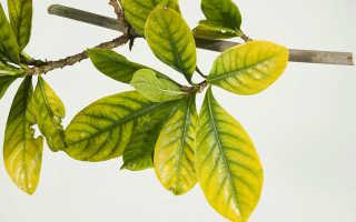 Гардения жасминовидная желтеют и опадают листья. Что делать, если у гардении желтеют листья