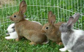 Болезнь печени у кроликов белые пятна. Пятна в печени кроликов