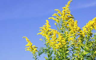 Амброзия что это такое фото. Амброзия — фото растения, описание, польза и вред