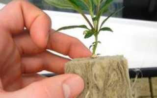 Выращивание сеянцев яблони. Как самостоятельно вырастить подвой для яблони и груши
