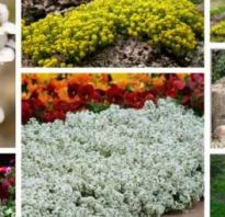 Алиссум многолетний фото цветов. Цветок алиссум многолетний