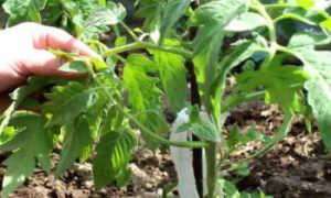 Как пасынковать томаты в теплице видео. Как правильно пасынковать помидоры в теплице + схема пасынкование сортов