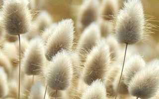 Заячий хвостик растение фото. Зайцехвост