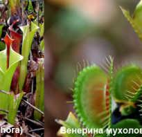 Брунея растение. Летучие мыши на Калимантане «сотрудничают» с растениями-хищниками
