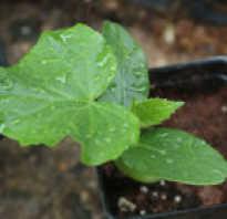 В каком месяце сажают огурцы. Когда сажать огурцы на рассаду, чтобы успели вырасти крепкие растения?