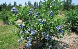 Голубика нортланд описание сорта отзывы. Голубика «Нортланд»: описание и выращивание сорта