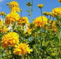 Золотой шар фото. Золотой шар: что растению нужно для роста и цветения